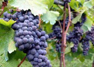 Vineyard_in_Montone edt